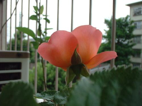 ピアーズ二番目の花
